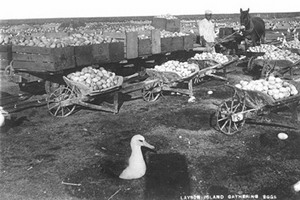 Laysan albatross eggs harvested on Laysan Island in the 1890s (Hawaii State Archives)