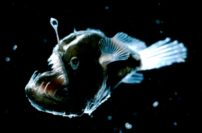 Figure 5 – The blackdevil anglerfish, Melanocetus johnsonii, has a bioluminescent esca that is used to attract prey. Photo credit: Edith A. Widder Harbor Branch Oceanographic Institution.