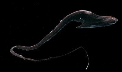 Figure 9 – The gulper eel, Eurypharynx pelecanoides, has a light organ on the end of its tail and luminescent racing stripes that run the full length of its body. Photo credit: Edith A. Widder Harbor Branch Oceanographic Institution.