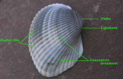 Parts of a bivalve shell
