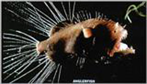 Figure 12. Bathypelagic fishes: Caulophryne, a deep-sea anglerfish with small eyes but well-developed sensory filaments, Copyright B.H. Robison.